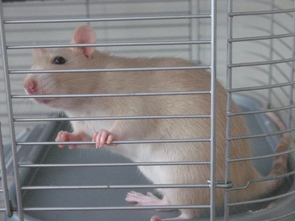 Rats-angel2