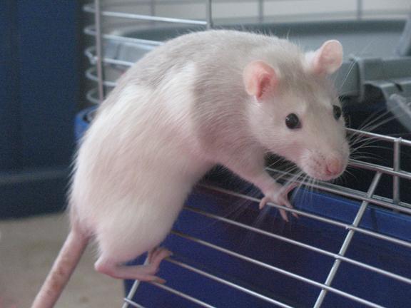 Rats-piper