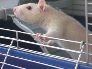 Rats-angel1