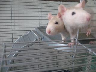 Rats-angel&piper