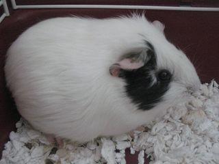 Guinea-ophelia1